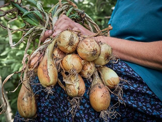 Uma cebola nas mãos de uma velha camponesa