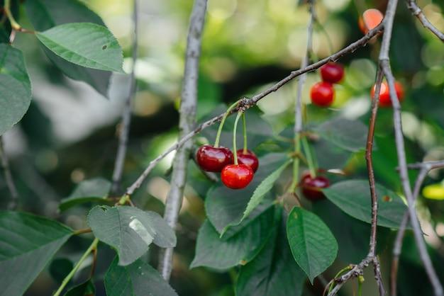 Uma cereja vermelha madura cresce close-up de uma árvore em um dia ensolarado de verão.