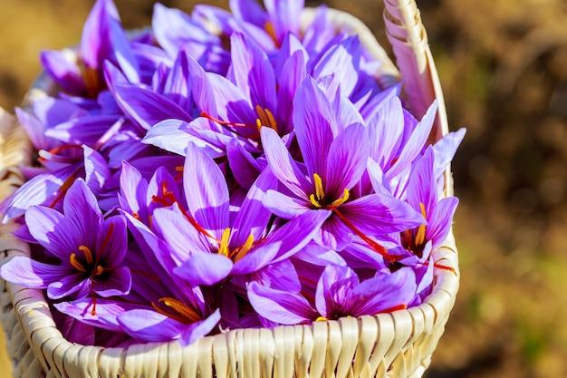 Uma cesta cheia de flores de açafrão recém colhidas.