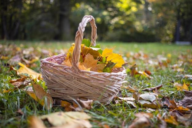 Uma cesta com folhas de bordo de outono amarelas fica na grama brava no espaço da cópia do sol close-up