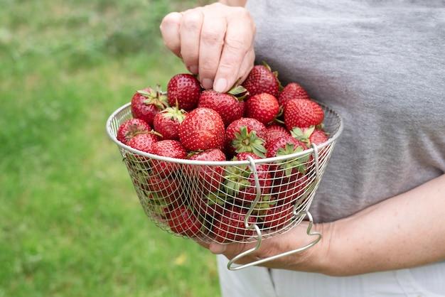 Uma cesta de morangos maduros nas mãos de uma senhora idosa na grama ao ar livre, close-up.