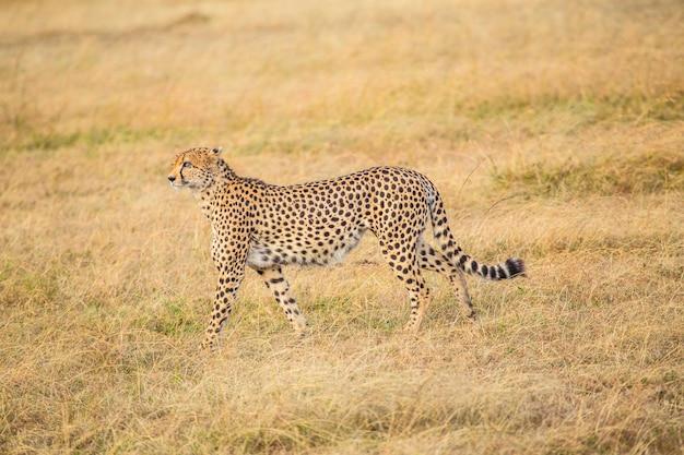 Uma chita caminhando no parque nacional masai mara, animais selvagens na savana. quênia