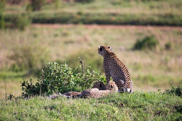 Uma chita mãe com dois filhos na savana queniana