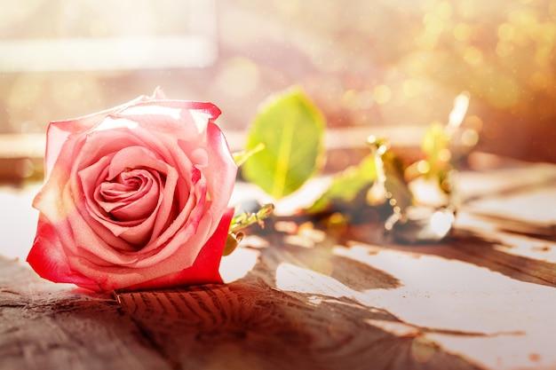Uma cor-de-rosa levantou-se com iluminação do bokeh, foco macio.