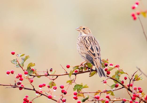 Uma cornija de milho (emberiza calandra) repousa sobre um arbusto de espinheiro-alvar com bagas vermelhas e gotas de chuva sobre elas. um pássaro