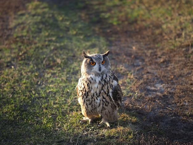 Uma coruja caminha na grama. luz da tarde.