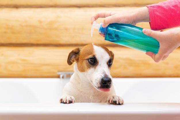 Uma criança lava seu cachorro jack russell terrier com shampoo ou sabonete no banheiro