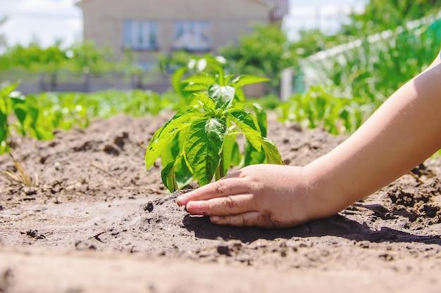 Uma criança planta uma planta no jardim. foco seletivo.