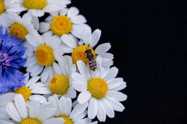 Uma delicada abelha, margaridas e centáureas em um fundo preto, coloque para o espaço da cópia do texto