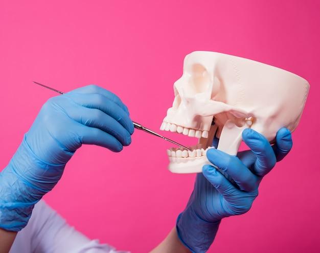 Uma dentista examina a cavidade oral do crânio artificial com instrumentos dentários esterilizados