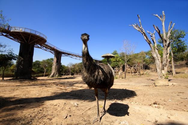 Uma emu australiana andando