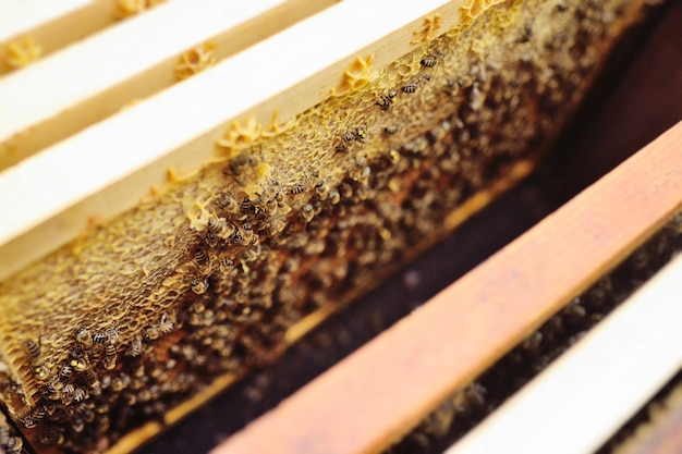 Uma família de abelhas close-up em um quadro de apiário