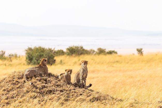 Uma família de chitas de masai mara em uma colina no quênia, áfrica
