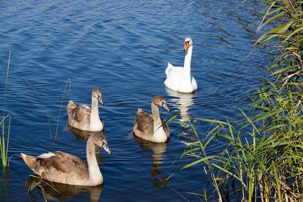 Uma família de cisnes nadando no lago