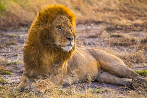 Uma família de leões e o grande pai leão no parque nacional masai mara, animais selvagens na savana. quênia, áfrica