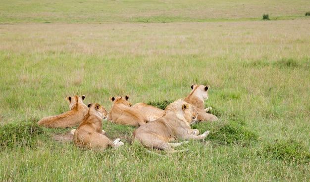 Uma família de leões repousa sobre uma colina