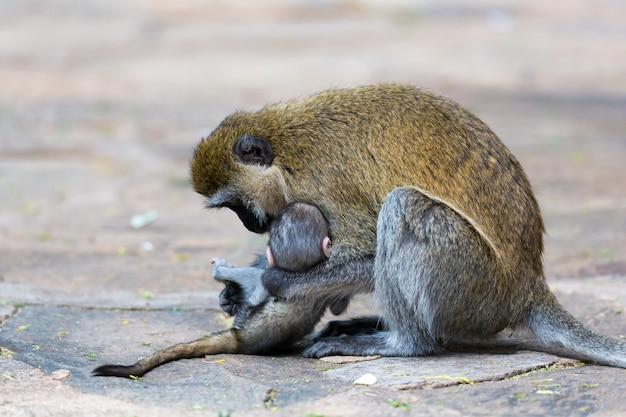 Uma família vervet com um macaquinho