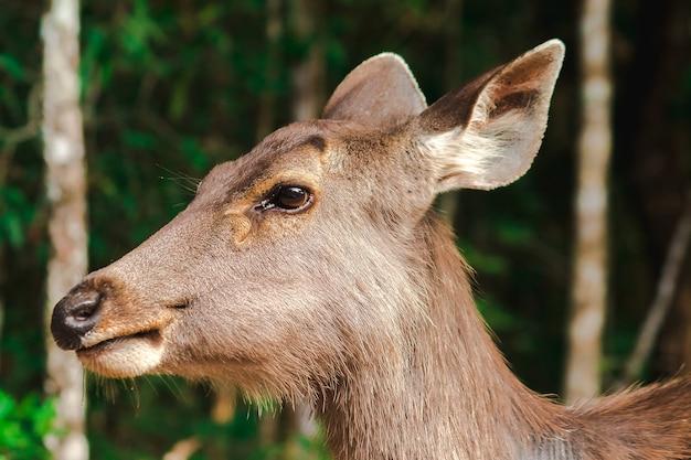 Uma fêmea de veado selvagem olhando, o veado selvagem é peludo, áspero, duro, marrom.
