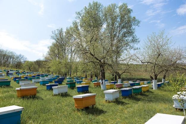 Uma fileira de colmeias em um apiário privado no jardim. indústria do mel. Foto Premium