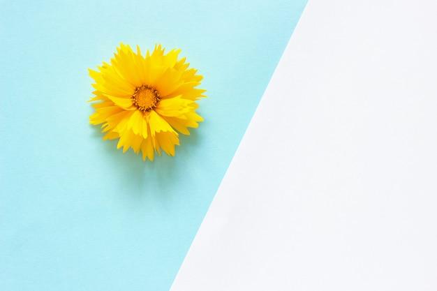Uma flor amarela de coreopsis em papel branco e azul