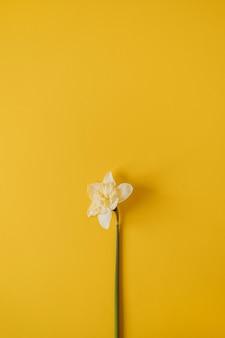 Uma flor amarela de narciso em amarelo