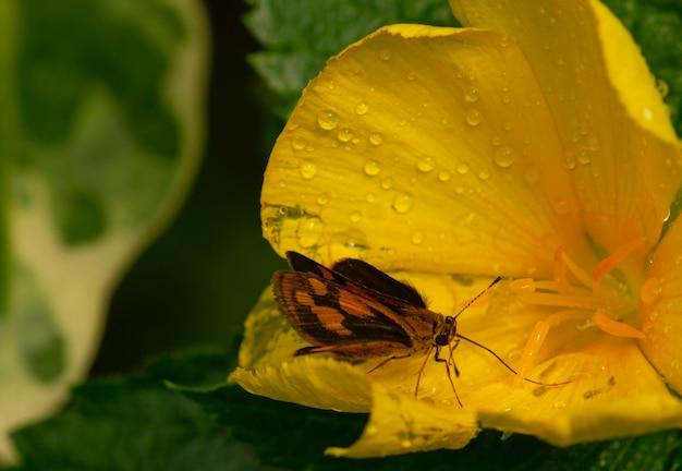 Uma flor amarela do botão de ouro e uma borboleta com gotas de água.