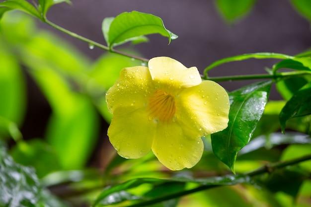 Uma flor amarela nativa de madagascar com pequenas gotas de chuva