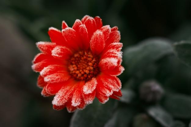 Uma flor de calêndula laranja brilhante contra uma superfície de folhas verdes é coberta com geadas no início do inverno, close-up.