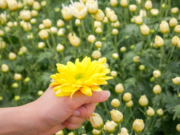 Uma flor de crisântemo amarelo lindo em uma mão com fundo de vista para o jardim