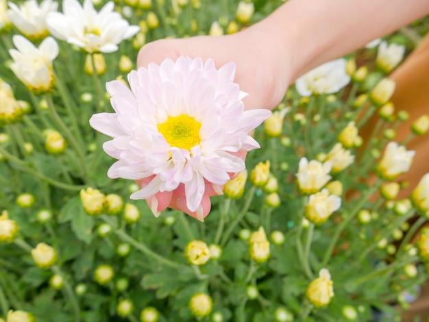 Uma flor de crisântemo branco lindo em uma mão com fundo de vista para o jardim
