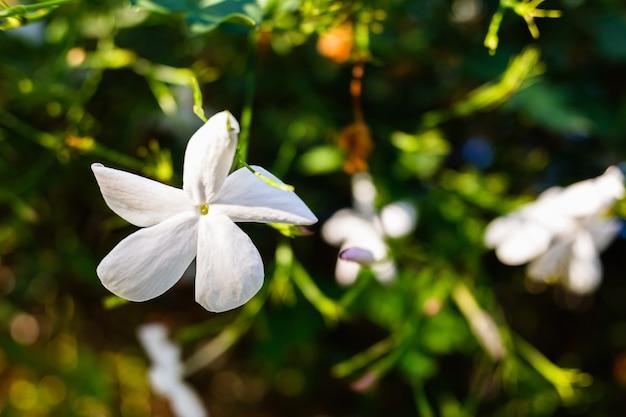 Uma flor de jasmim branco, jasminum, que floresce durante o verão.