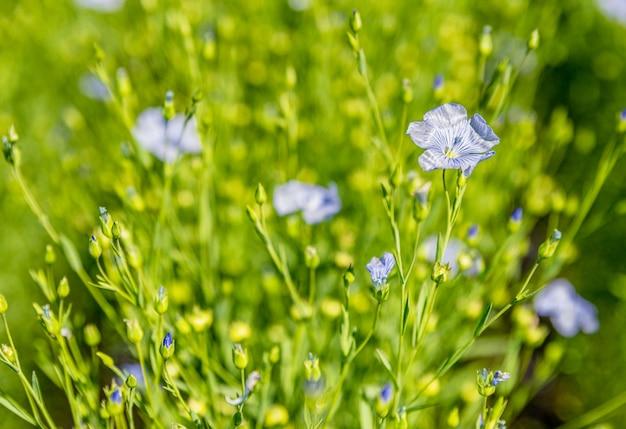 Uma flor de linho azul selecionada em foco florescendo em um campo