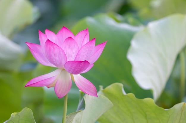 Uma flor de lótus rosa em um fundo de folha de lótus verde