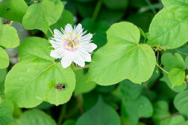 Uma flor de planta passiflora