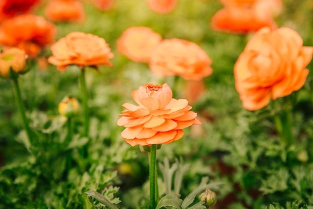 Uma flor de ranúnculo laranja crescendo em um campo em um dia ensolarado