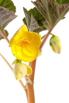 Uma flor desabrochando, begônia é macro fotografada. isolado na superfície branca.