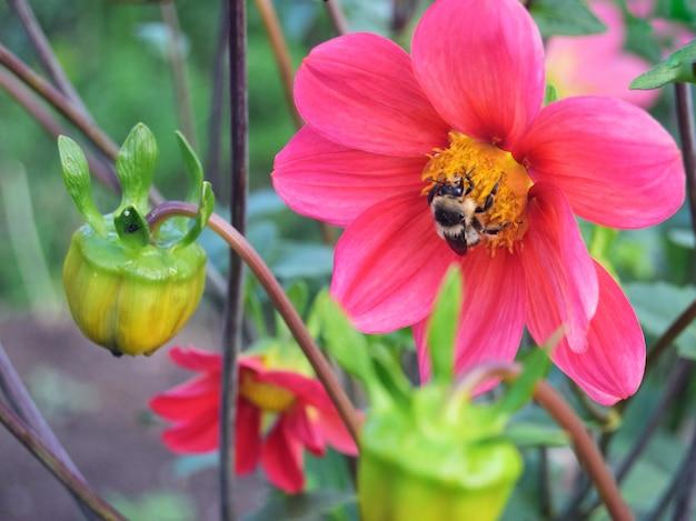 Uma flor desfiada da cynia é escarlate com uma abelha