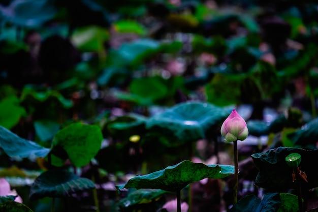 Uma flor em botão e planta de lótus