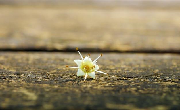 Uma flor estrela branca cresce na ilha de java, indonésia