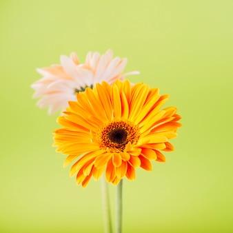Uma flor gerbera laranja e rosa contra um fundo verde