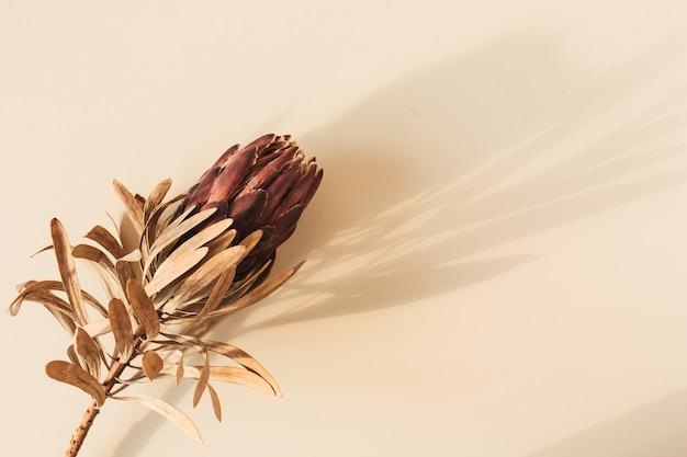 Uma flor protea vermelha seca em bege pastel