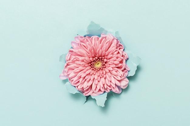 Uma flor rosa em um papel azul rasgado. vista do topo.