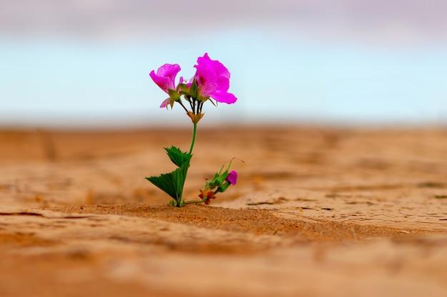 Uma flor rosa solitária no meio do deserto dourado