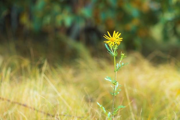 Uma flor selvagem do campo contra um fundo da folha do verde amarelo. fundo desfocado.