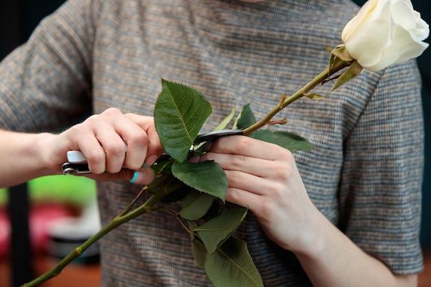 Uma florista jovem adulta segura uma rosa branca e corta uma folha com um podador.