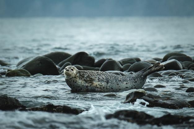 Uma foca manchada está deitada nas rochas