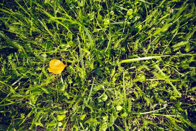 Uma folha amarela caiu na grama verde. conceito de queda.