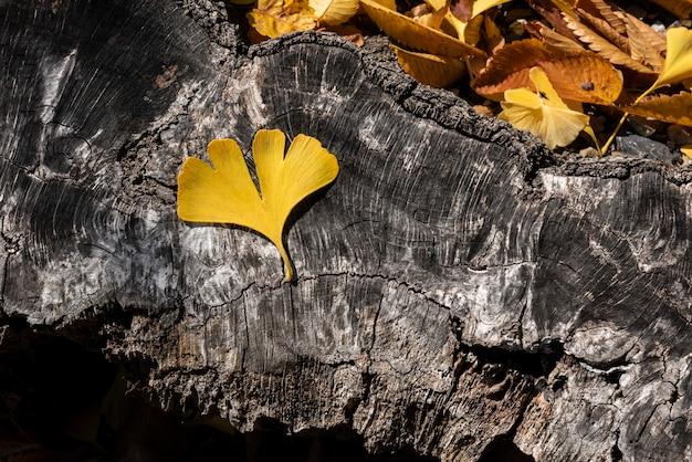 Uma folha amarela de ginkgo biloba disposta em um tronco texturizado iluminado por uma luz natural suave.