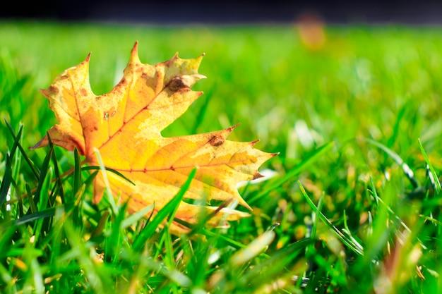 Uma folha amarela de jatropha curcas cai no chão.