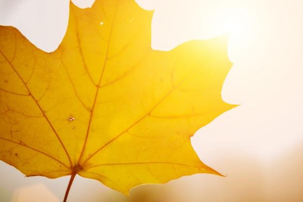 Uma folha amarela do outono com luz solar. fechar-se